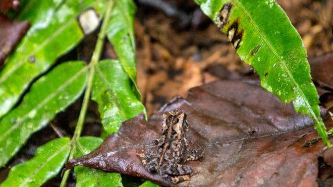 Мексиканская древесная лягушка