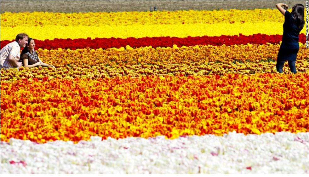 Тюльпановые поля, Лиссе, Нидерланды