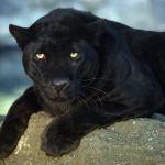 Черная пантера: отдельное животное или целый вид?
