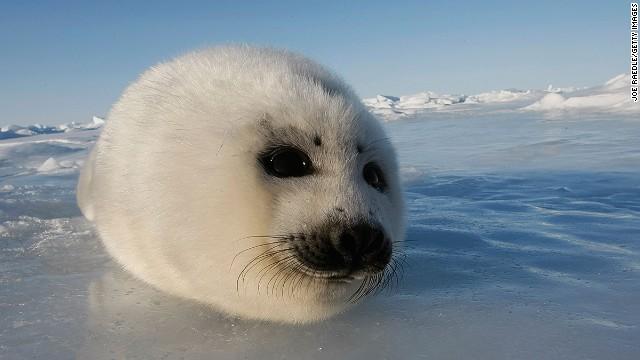 Гренландский тюлень