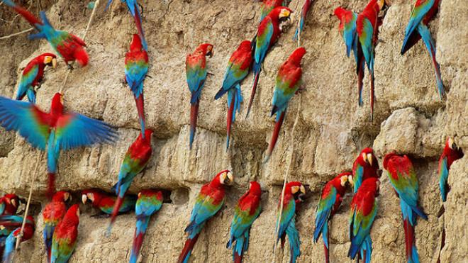 parrot gathering
