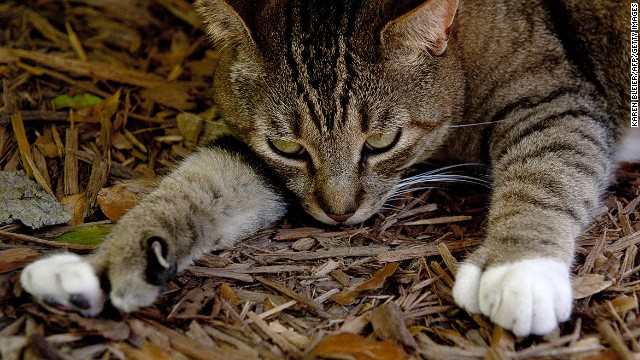 Кошки Хемингуэя, Флорида