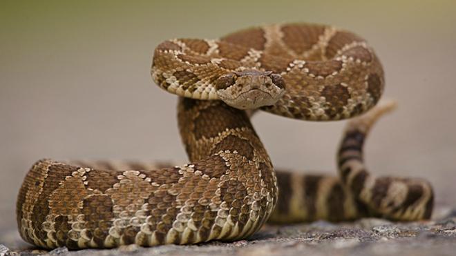 вы можете отсосать яд змеи