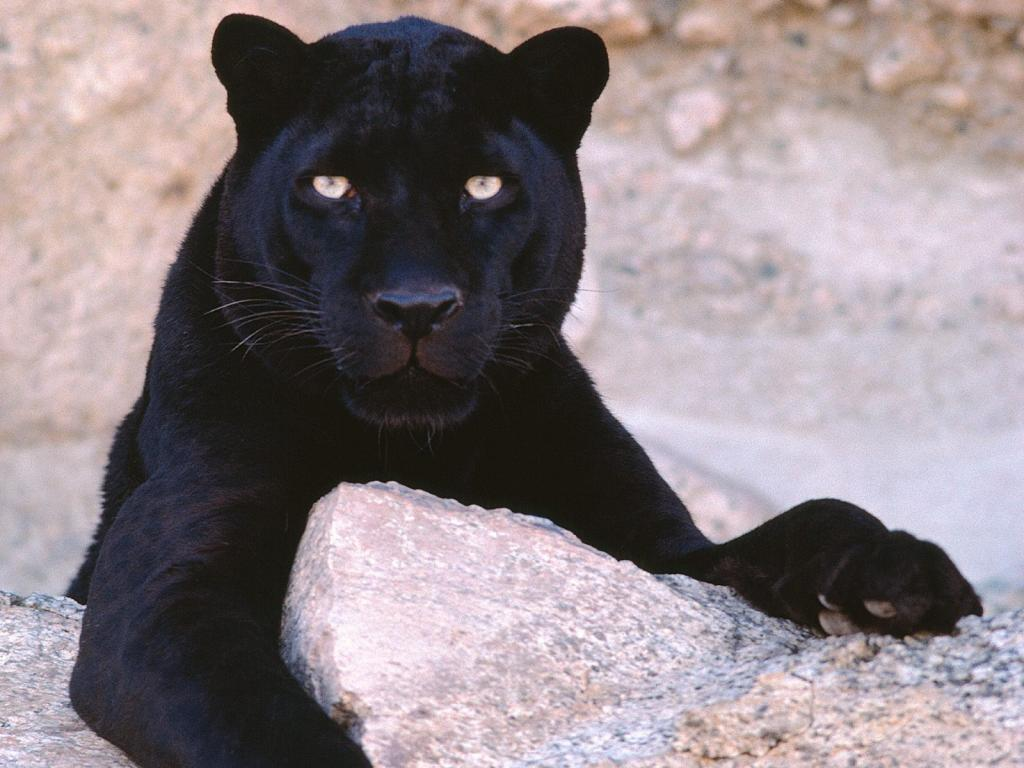 черная пантера лежит