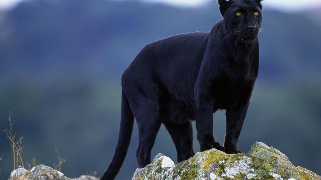 черная пантера на скале
